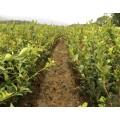 安徽嫁接油茶树苗1油茶的种植1杂交油茶苗